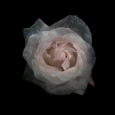 La espectacular belleza de una rosa