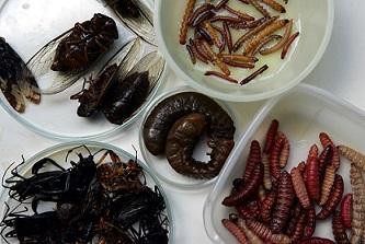 Que coman insectos ellos